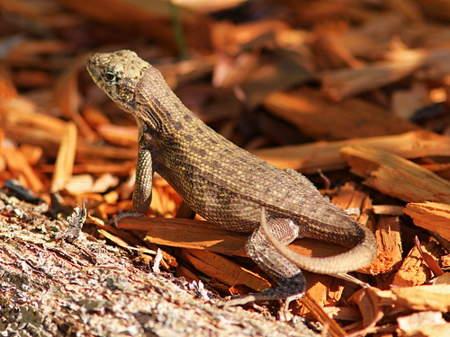 Curly-tailed Lizard 02-20180715