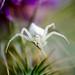 Araña Cangrejo-_Thomisus onustus