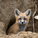 1806_0943 Red Fox by wild prairie man