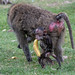 Baboon Mum & Baby