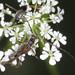 Pear Shortwing - Glaphyra umbellatarum