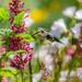 Female Anna's hummingbird by julesnene