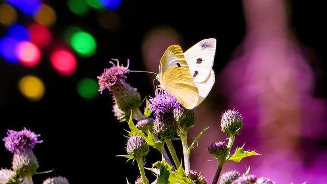 Butterfly - 5375
