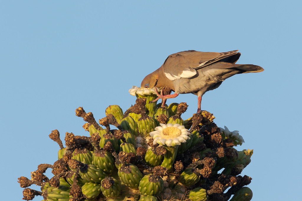 A white-winged dove sticks its entire face into a saguaro blossom as it feeds in McDowell Sonoran Preserve in Scottsdale, Arizona