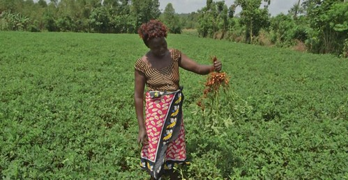 Ms. Rachel Amoit in her groundnuts farm in Busia