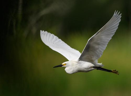 Snowy Egret 6_25