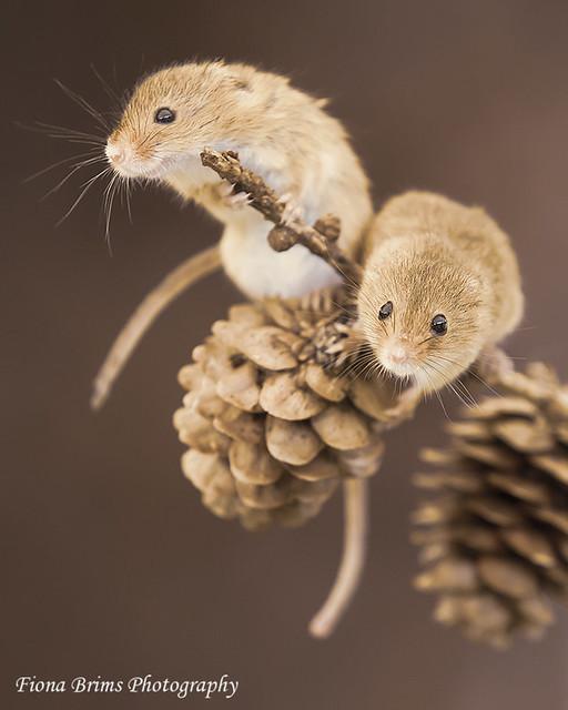 mice-2-3