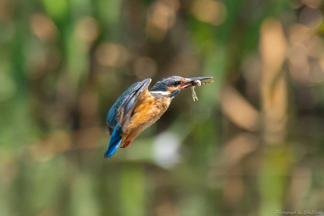 20180629-kingfisher-DSC_5081