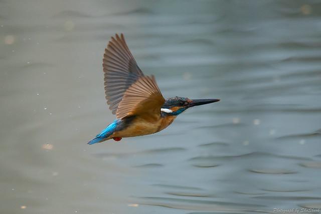 20180628-kingfisher-DSC_4595