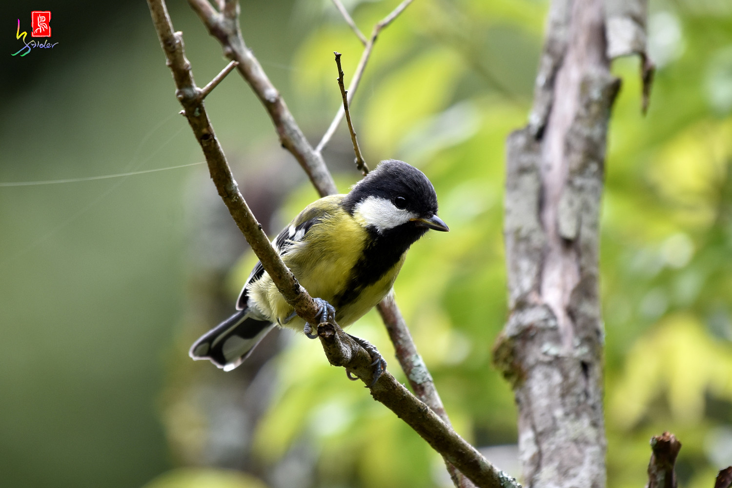 Green-backed_Tit_8844
