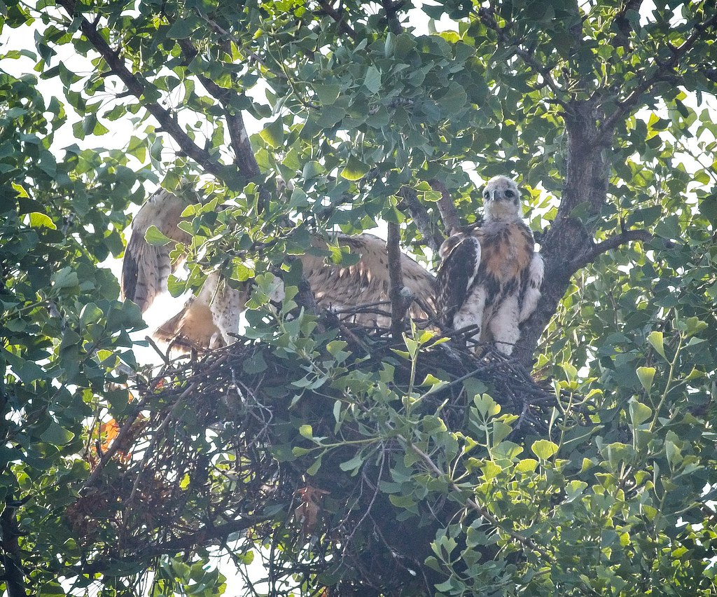 Tompkins hawk nest