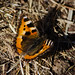Tortoiseshell butterfly resting, folding and unfolding wings