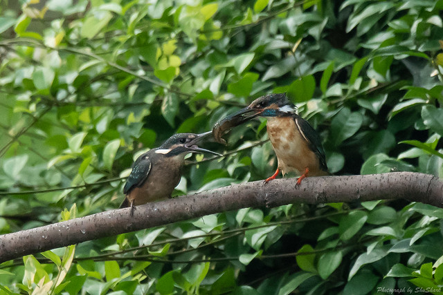 20180716-kingfisher-DSC_6794