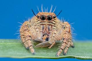 Jumping spider (Hyllus sp.) - DSC_4229