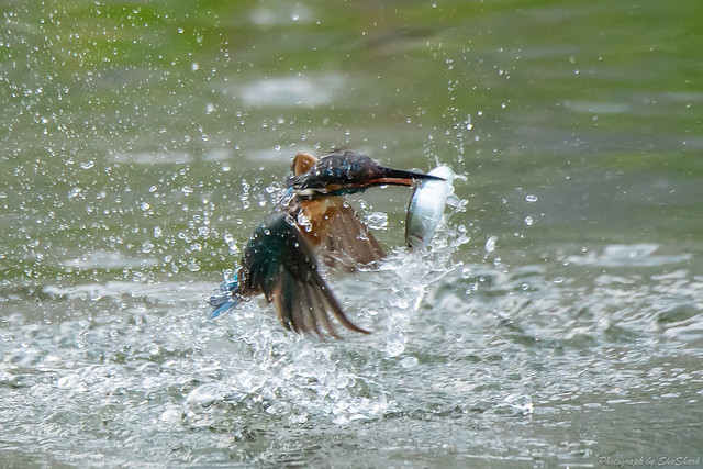 20180628-kingfisher-DSC_4610
