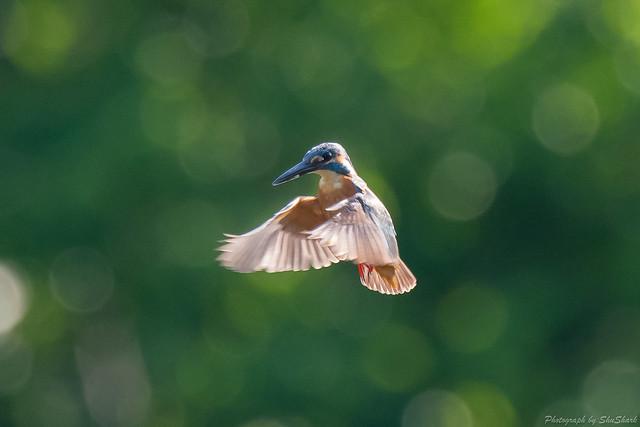 20180701-kingfisher-DSC_5804