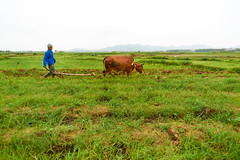 Farmer plowing his rice paddy