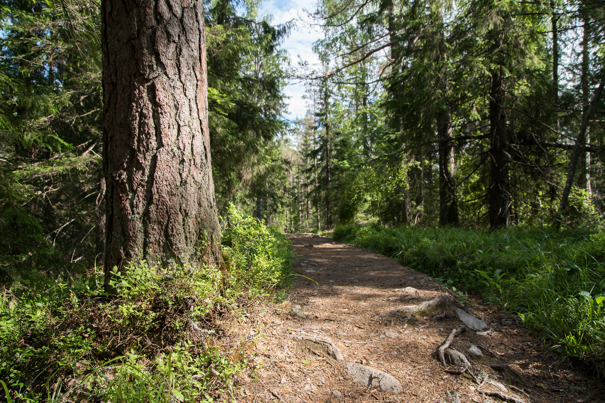 Metsäpolku Kolilla