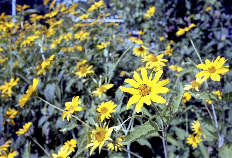 More Yellow Daisies_