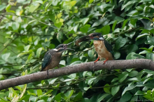 20180716-kingfisher-DSC_6809