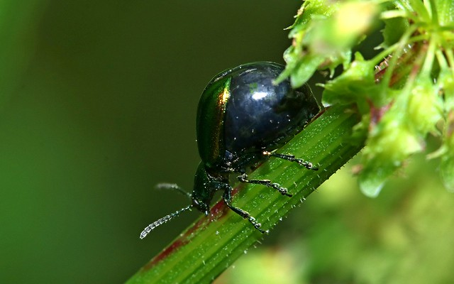 Dock Leaf Beetle, Canon EOS 760D, Canon EF-S 60mm f/2.8 Macro USM