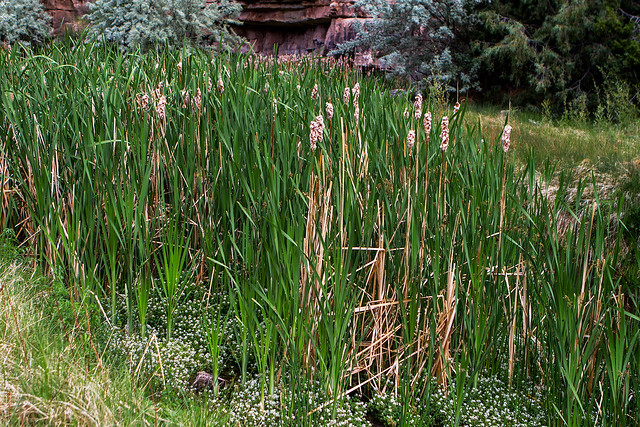 OLdNew-Cattails16-7D1-053018