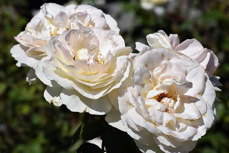 Roses 22.06 (3)