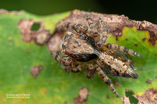 Jumping spider (Salticidae) - DSC_3891