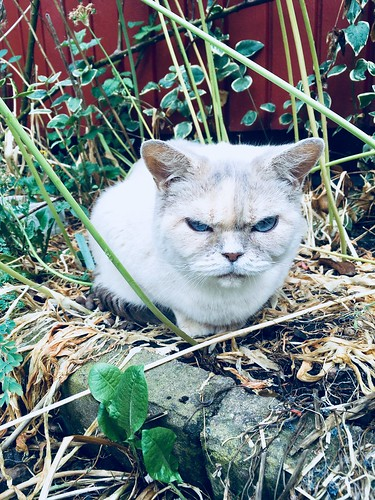luddkolt's british shorthair, june 2018 -