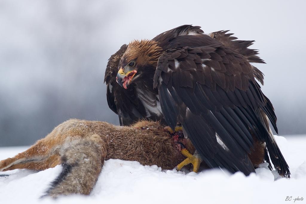 Golden eagle feeding on red fox. Photo taken on February 21, 2009.