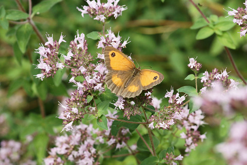 Gatekeeper (Pyronia tithonus)