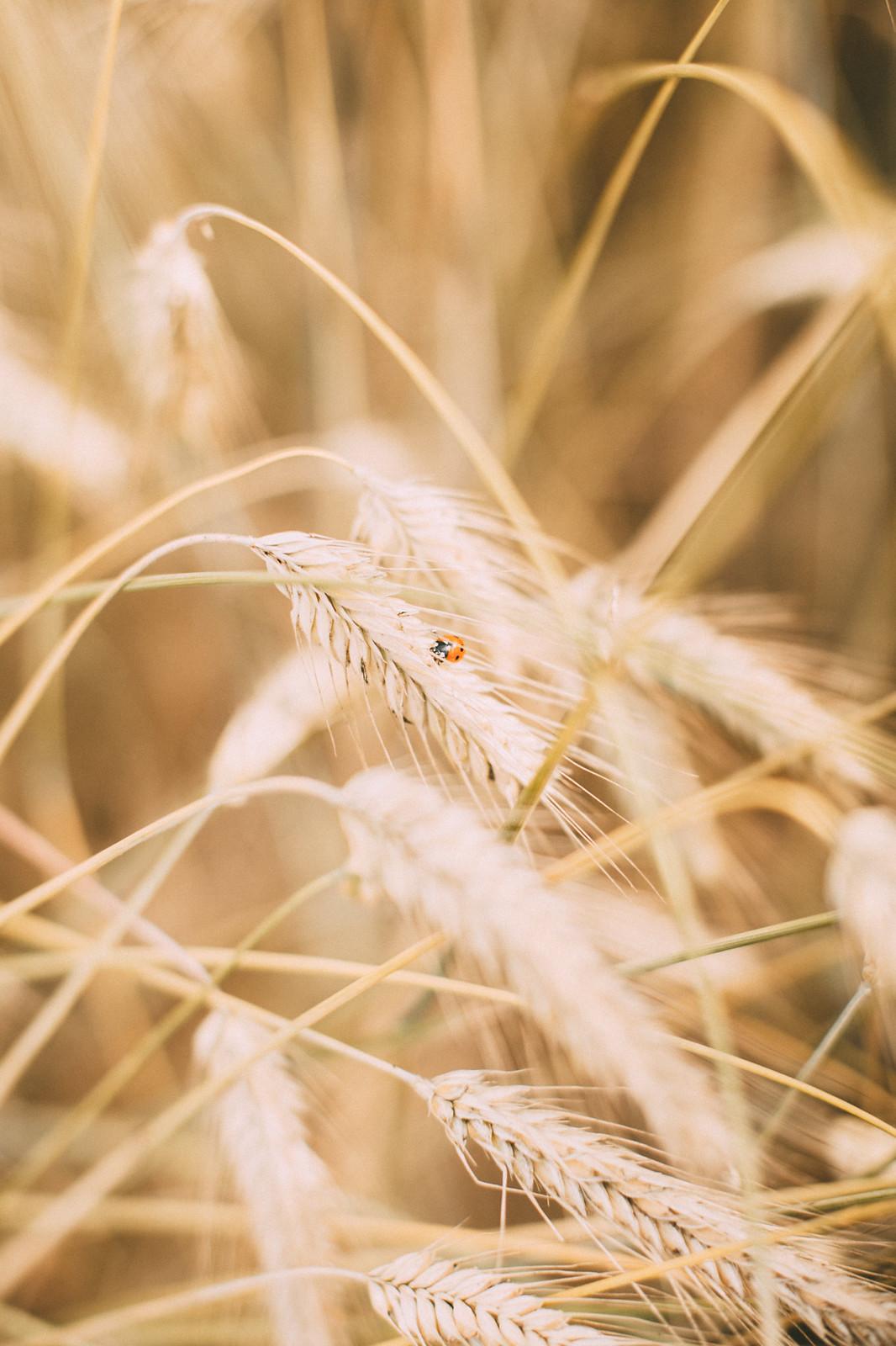 wheat shoot-10