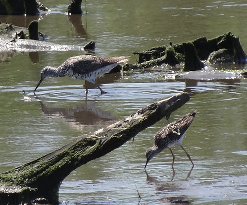 greater yellowlegs, lesser yellowlegs
