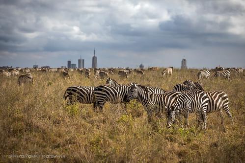 2017 africa kenya nairobi nairobinationalpark city outskirts zebra animal ngc 7dwf safari gidzinski gidzinska