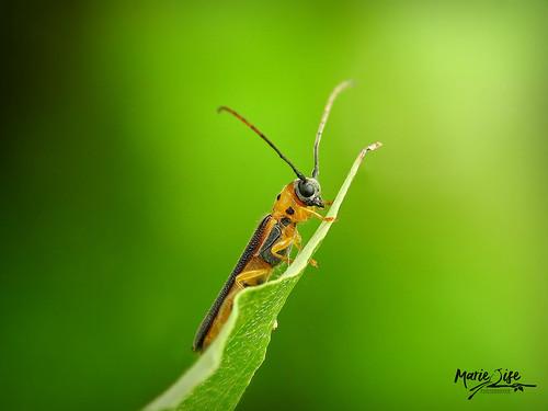 Perceur jaunâtre du cornouiller - Oberea praelonga csy