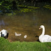 Swans with signets