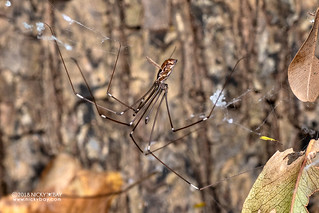Daddy-long-legs spider (Pholcidae) - DSC_6541