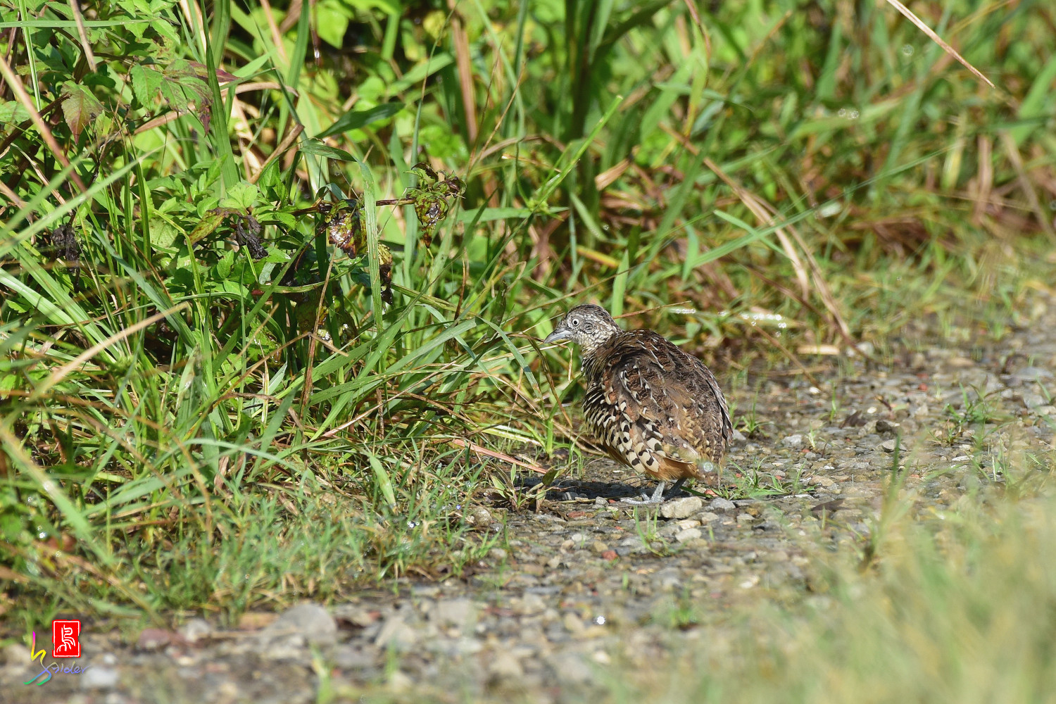 Barred_Buttonquail_3711