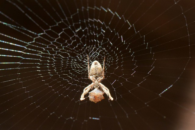 Feather-legged Spider (Uloborus diversus, Uloboridae) on its spiral web