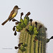 Brown-crested flycatcher (Myiarchus tyrannulus) by Alexander Viduetsky