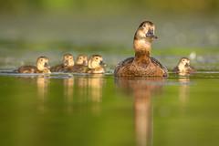 Pochard family