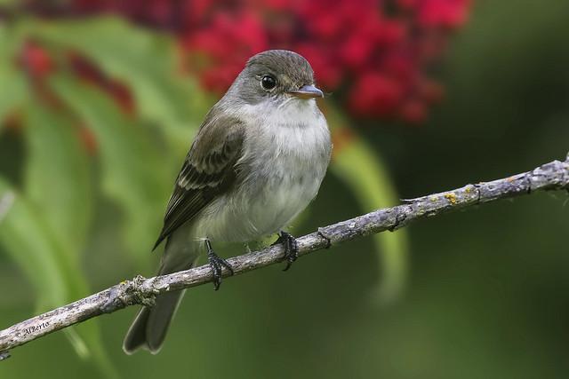 Willow Flycatcher / Moucherolle des saules
