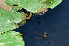 Araignées d'eau