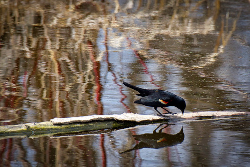 Reflections, Rivals, and a Red-Winged Blackbird