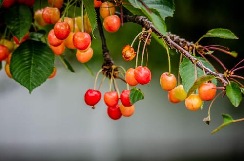 Yard Cherries