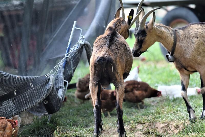 Goat 10.07 (14)