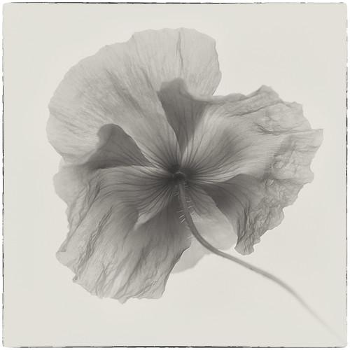 Poppy in monochrome
