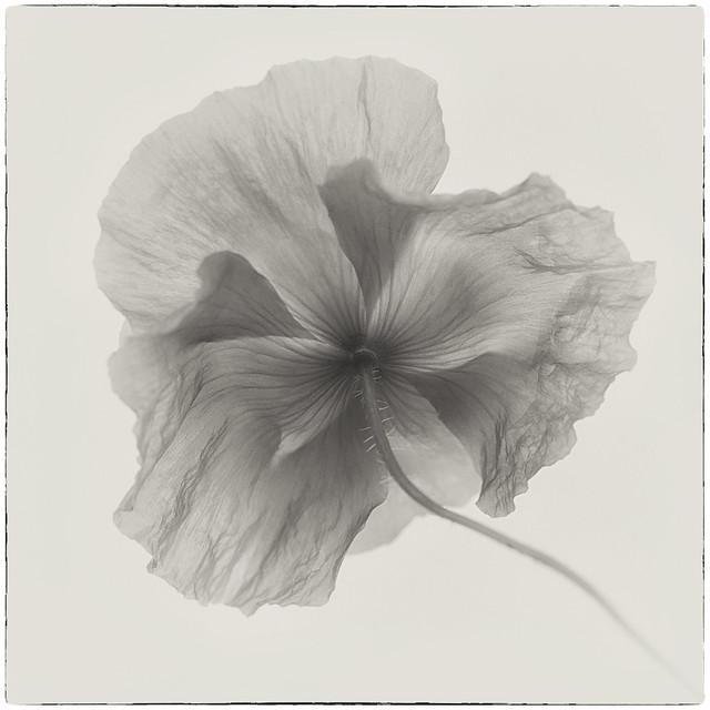 Poppy in monochrome, Nikon D610, AF-S VR Micro-Nikkor 105mm f/2.8G IF-ED