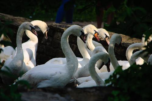 Head-bobbing swans