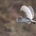 Barn Owl by Karen Roe